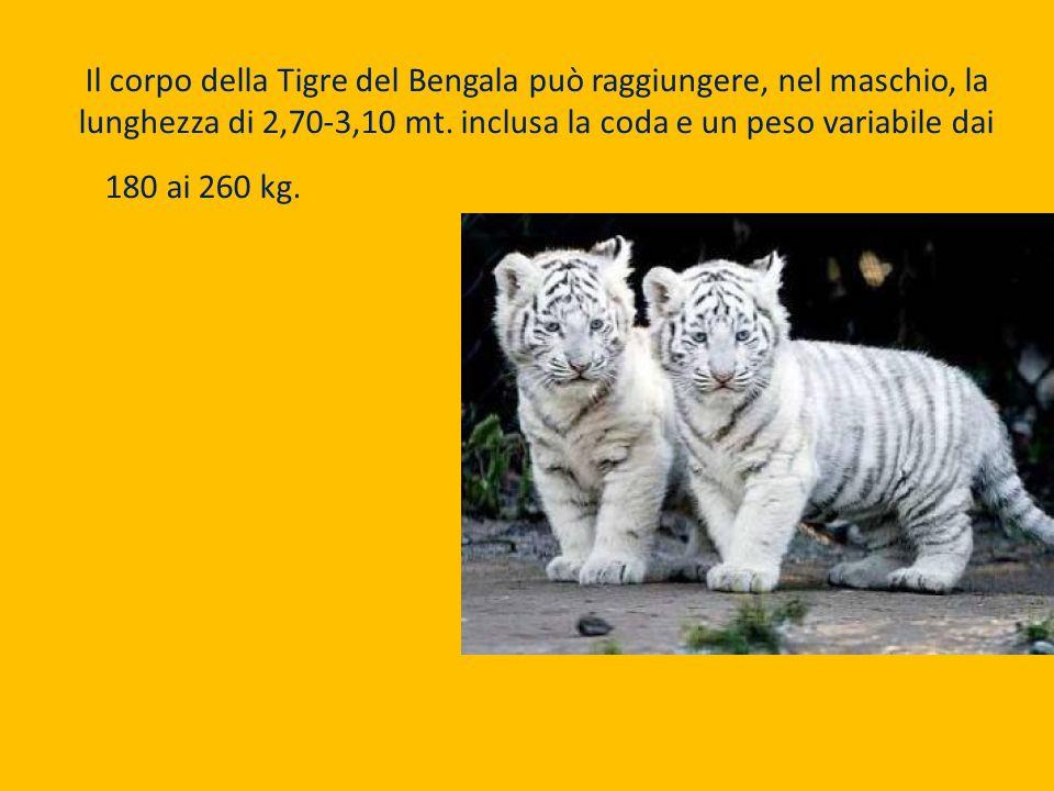Il corpo della Tigre del Bengala può raggiungere, nel maschio, la lunghezza di 2,70-3,10 mt.