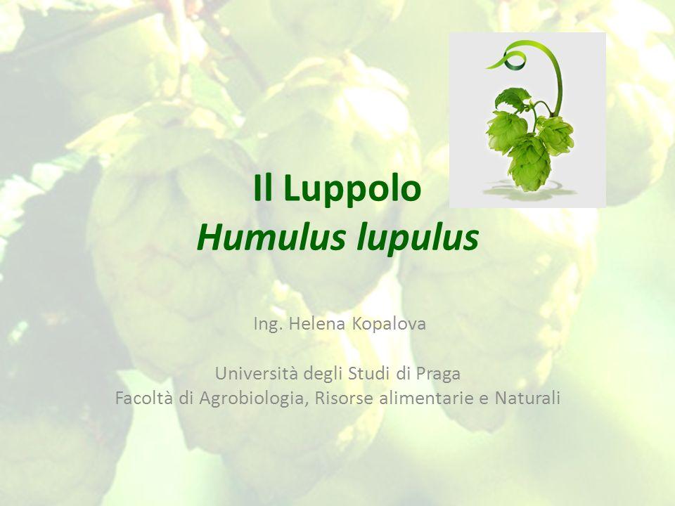 Il Luppolo Humulus lupulus