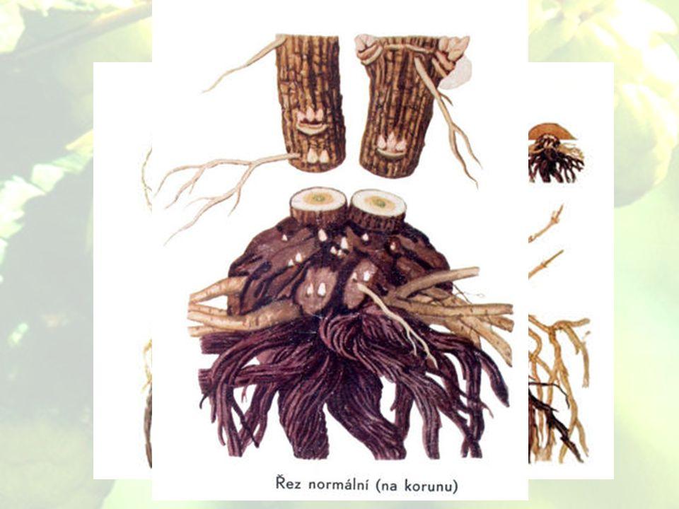 fabbisogno del suolo Fillo accompagnatorio per motivi della crescita del luppolo – senza supporto cresce solo 2 m.