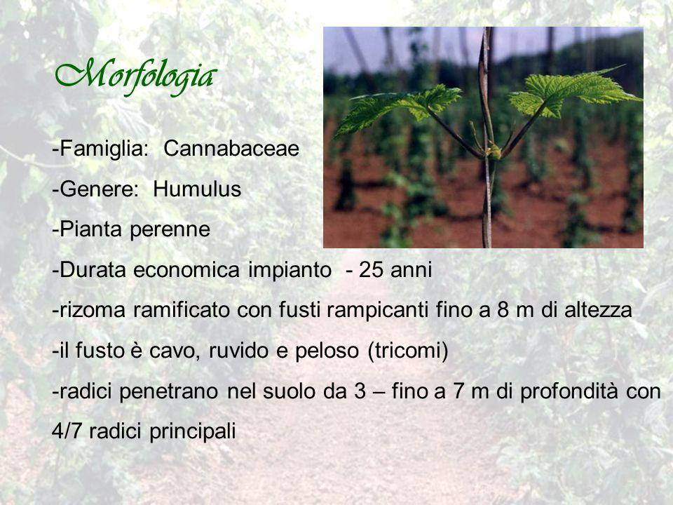 Morfologia Famiglia: Cannabaceae Genere: Humulus Pianta perenne