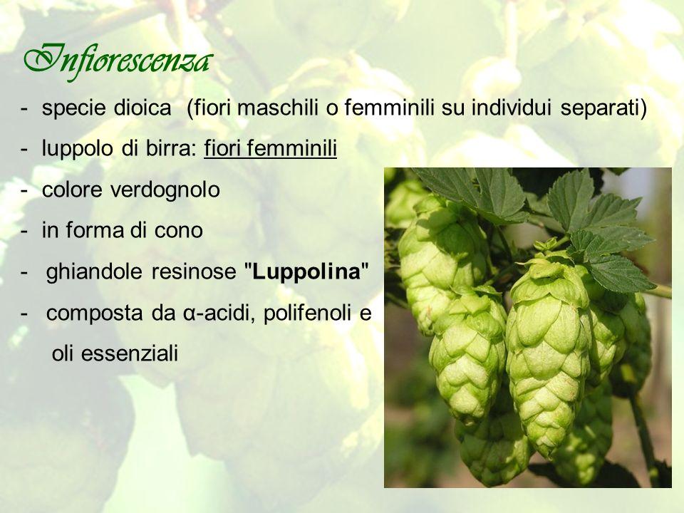 Infiorescenza specie dioica (fiori maschili o femminili su individui separati) luppolo di birra: fiori femminili.
