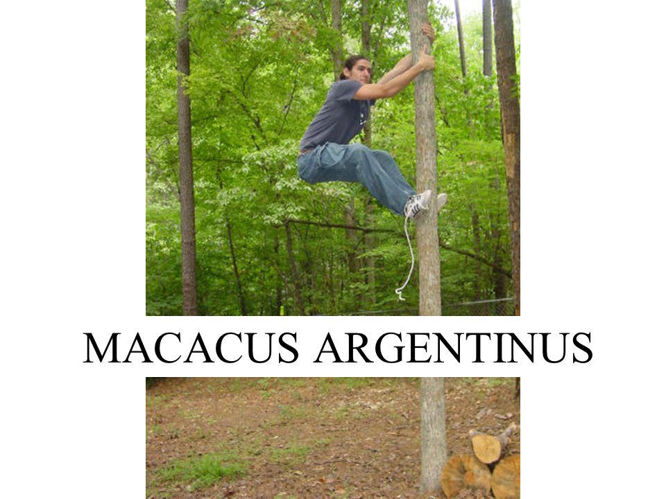 MACACUS ARGENTINUS