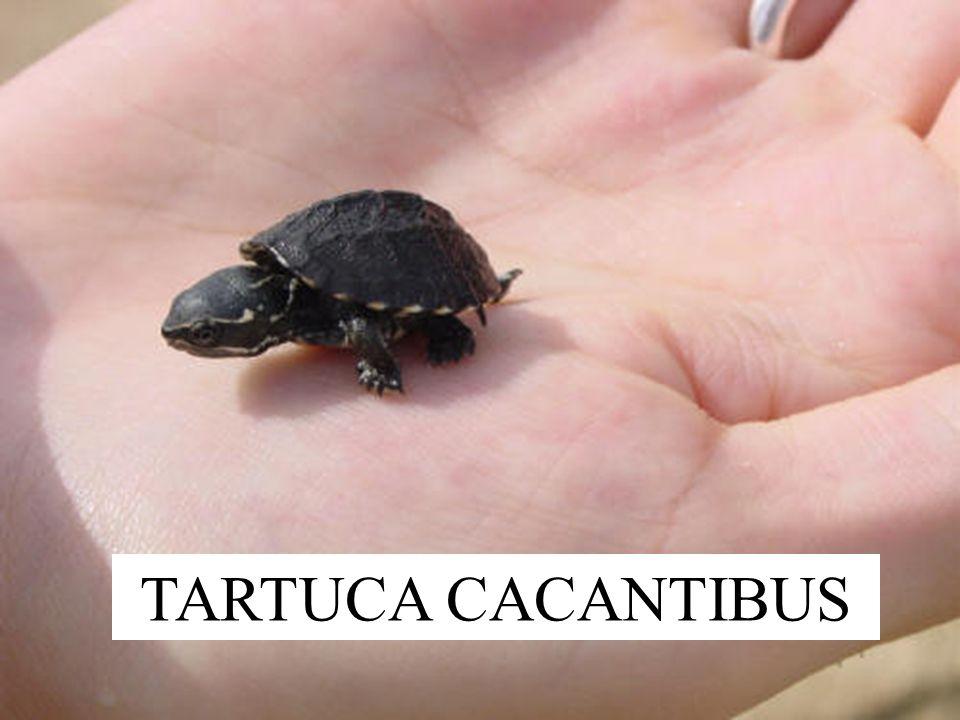 TARTUCA CACANTIBUS