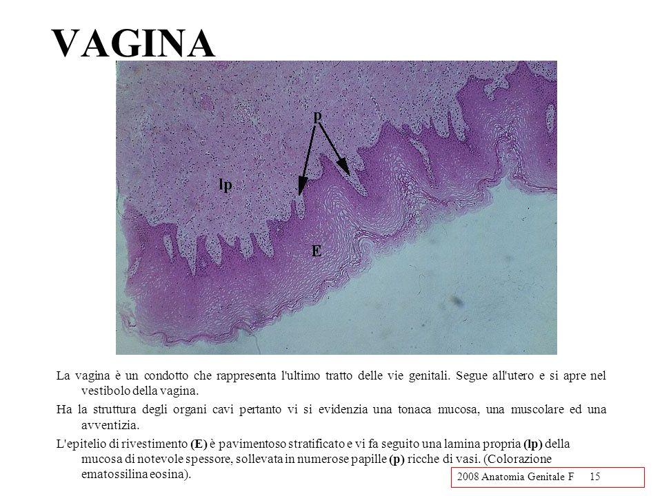 VAGINA La vagina è un condotto che rappresenta l ultimo tratto delle vie genitali. Segue all utero e si apre nel vestibolo della vagina.