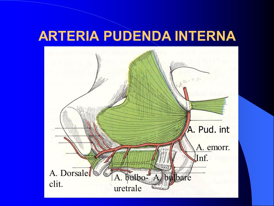 ARTERIA PUDENDA INTERNA