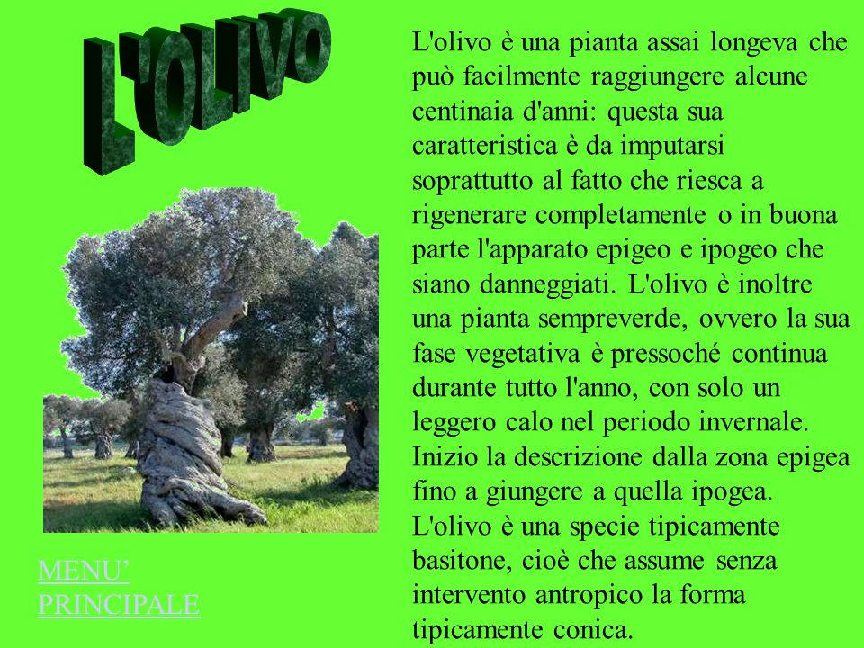 L OLIVO