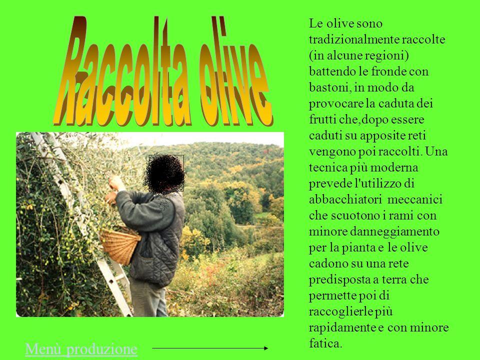 Raccolta olive Menù produzione