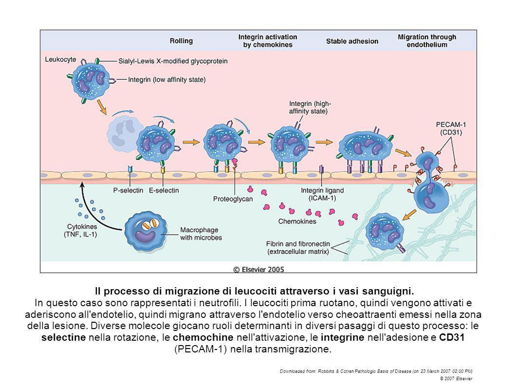 Il processo di migrazione di leucociti attraverso i vasi sanguigni.