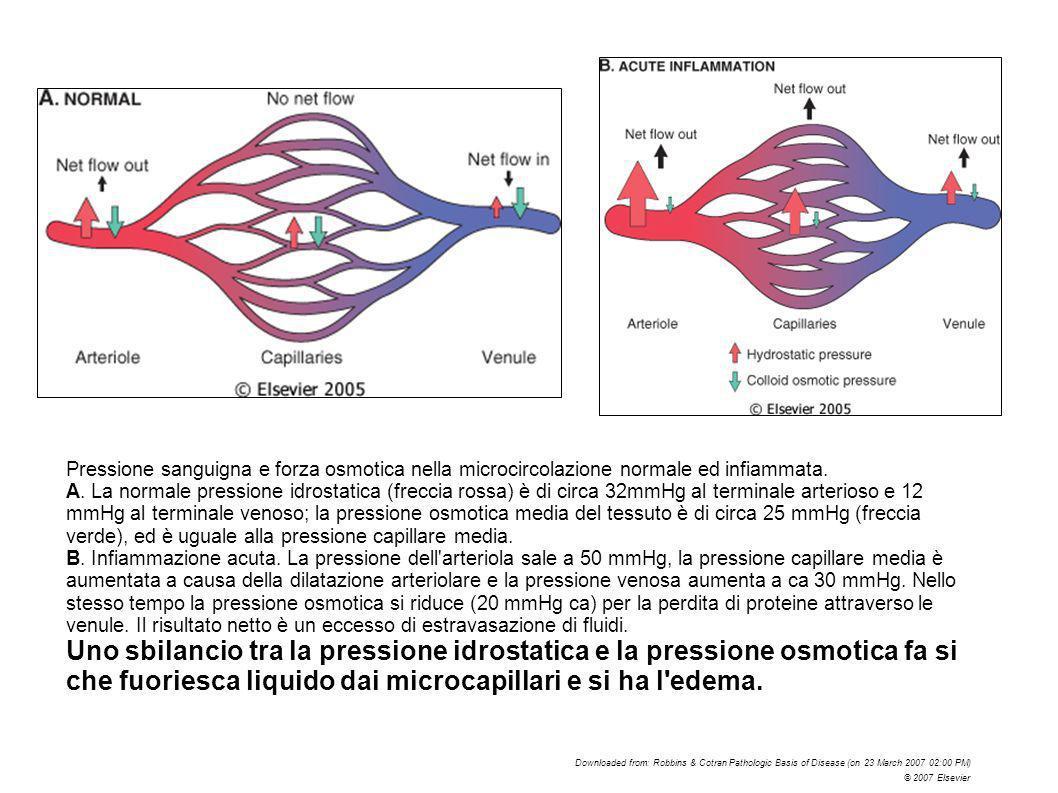 Pressione sanguigna e forza osmotica nella microcircolazione normale ed infiammata.