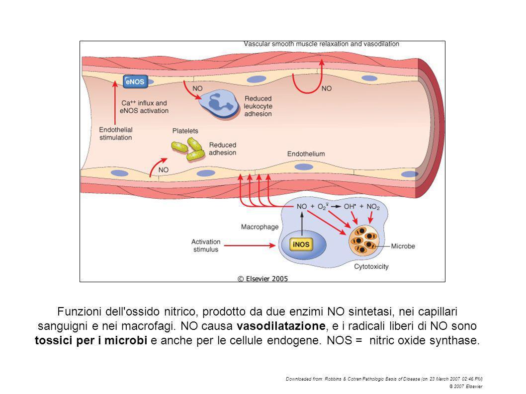Funzioni dell ossido nitrico, prodotto da due enzimi NO sintetasi, nei capillari sanguigni e nei macrofagi. NO causa vasodilatazione, e i radicali liberi di NO sono tossici per i microbi e anche per le cellule endogene. NOS = nitric oxide synthase.