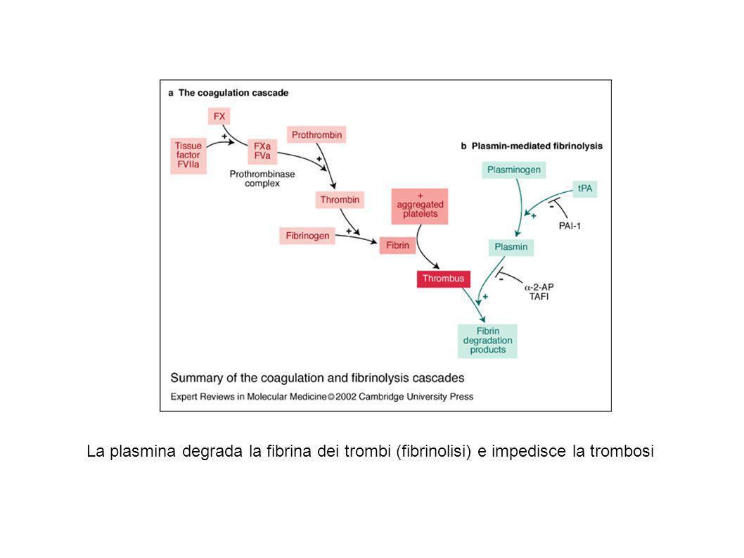 La plasmina degrada la fibrina dei trombi (fibrinolisi) e impedisce la trombosi