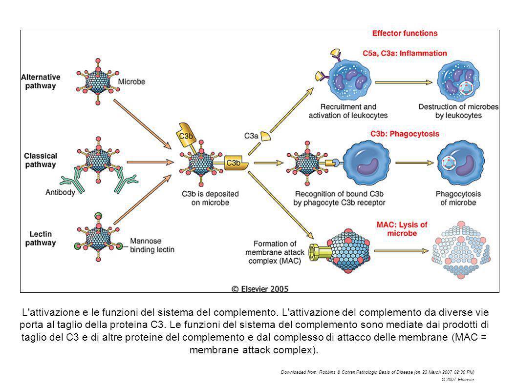 L attivazione e le funzioni del sistema del complemento