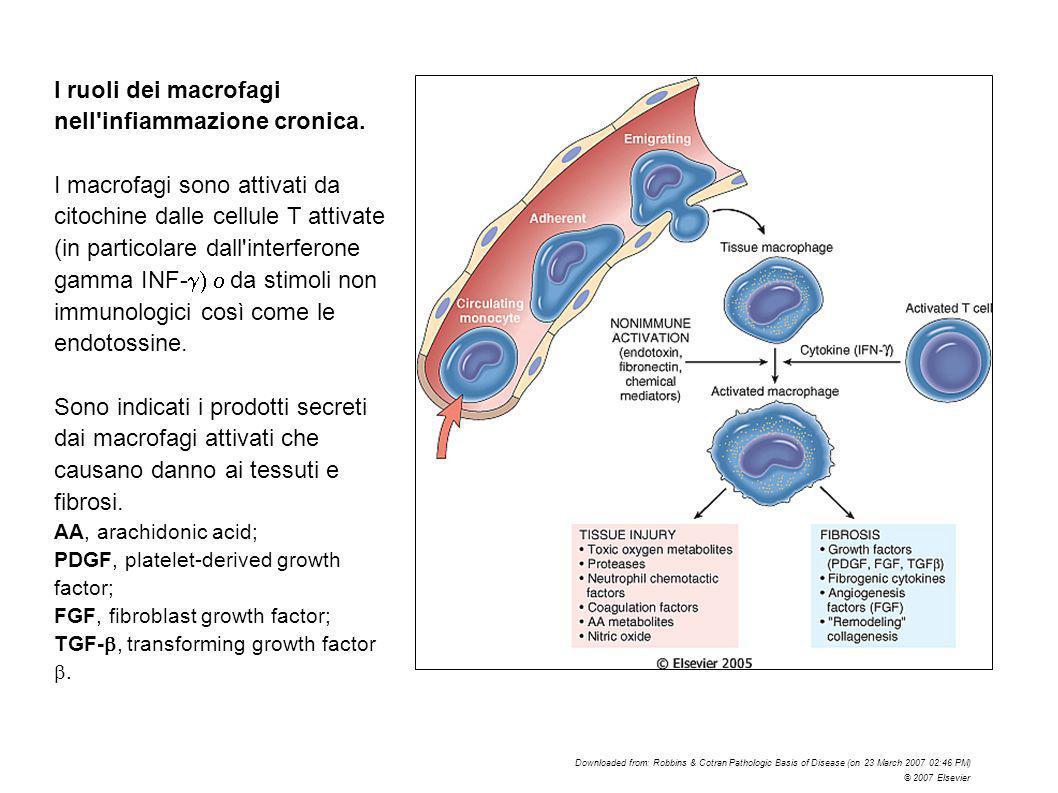 I ruoli dei macrofagi nell infiammazione cronica.