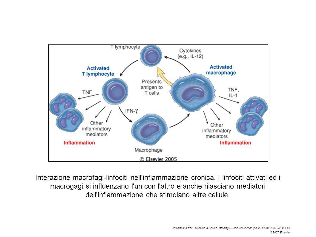 Interazione macrofagi-linfociti nell infiammazione cronica