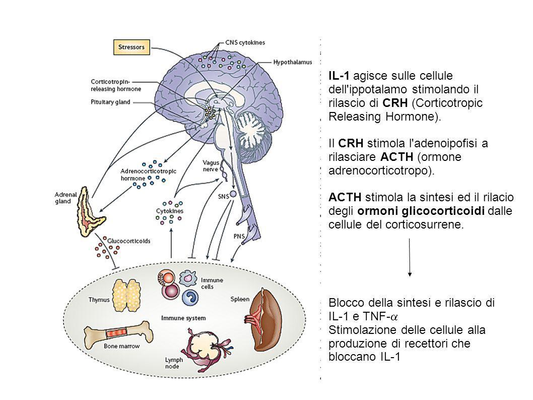 IL-1 agisce sulle cellule dell ippotalamo stimolando il rilascio di CRH (Corticotropic Releasing Hormone).