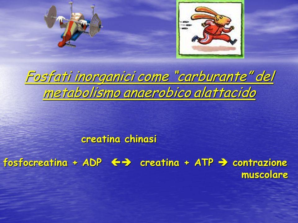 Fosfati inorganici come carburante del metabolismo anaerobico alattacido