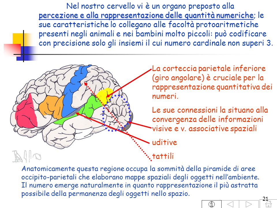 Nel nostro cervello vi è un organo preposto alla percezione e alla rappresentazione delle quantità numeriche; le sue caratteristiche lo collegano alle facoltà protoaritmetiche presenti negli animali e nei bambini molto piccoli: può codificare con precisione solo gli insiemi il cui numero cardinale non superi 3.