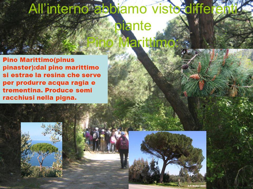 All'interno abbiamo visto differenti piante Pino Marittimo: