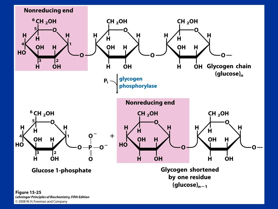FIGURE Removal of a glucose residue from the nonreducing end of a glycogen chain by glycogen phosphorylase.