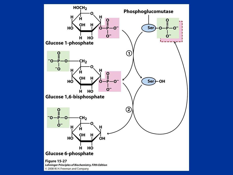 FIGURE 15-27 Reaction catalyzed by phosphoglucomutase