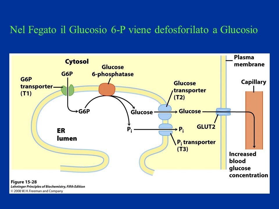 Nel Fegato il Glucosio 6-P viene defosforilato a Glucosio