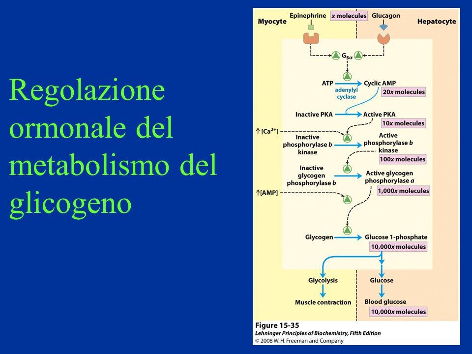 Regolazione ormonale del metabolismo del glicogeno
