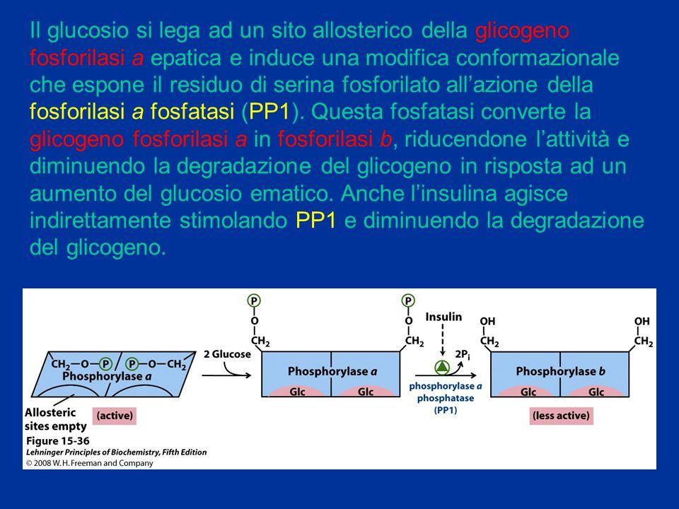Il glucosio si lega ad un sito allosterico della glicogeno fosforilasi a epatica e induce una modifica conformazionale che espone il residuo di serina fosforilato all'azione della fosforilasi a fosfatasi (PP1). Questa fosfatasi converte la glicogeno fosforilasi a in fosforilasi b, riducendone l'attività e diminuendo la degradazione del glicogeno in risposta ad un aumento del glucosio ematico. Anche l'insulina agisce indirettamente stimolando PP1 e diminuendo la degradazione del glicogeno.