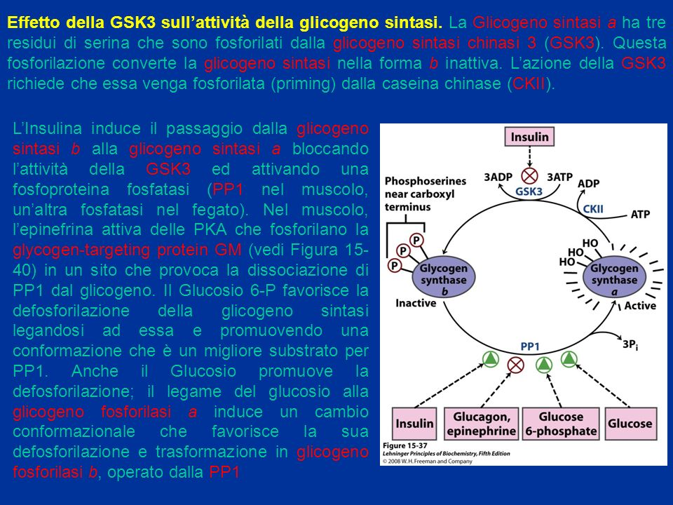 Effetto della GSK3 sull'attività della glicogeno sintasi