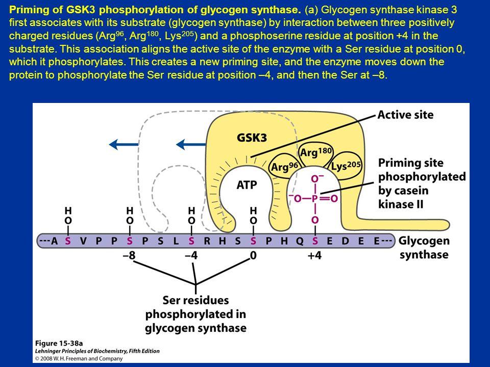 Priming of GSK3 phosphorylation of glycogen synthase