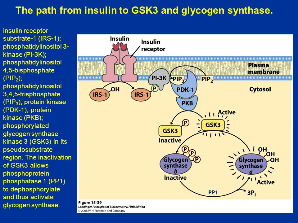 The path from insulin to GSK3 and glycogen synthase.