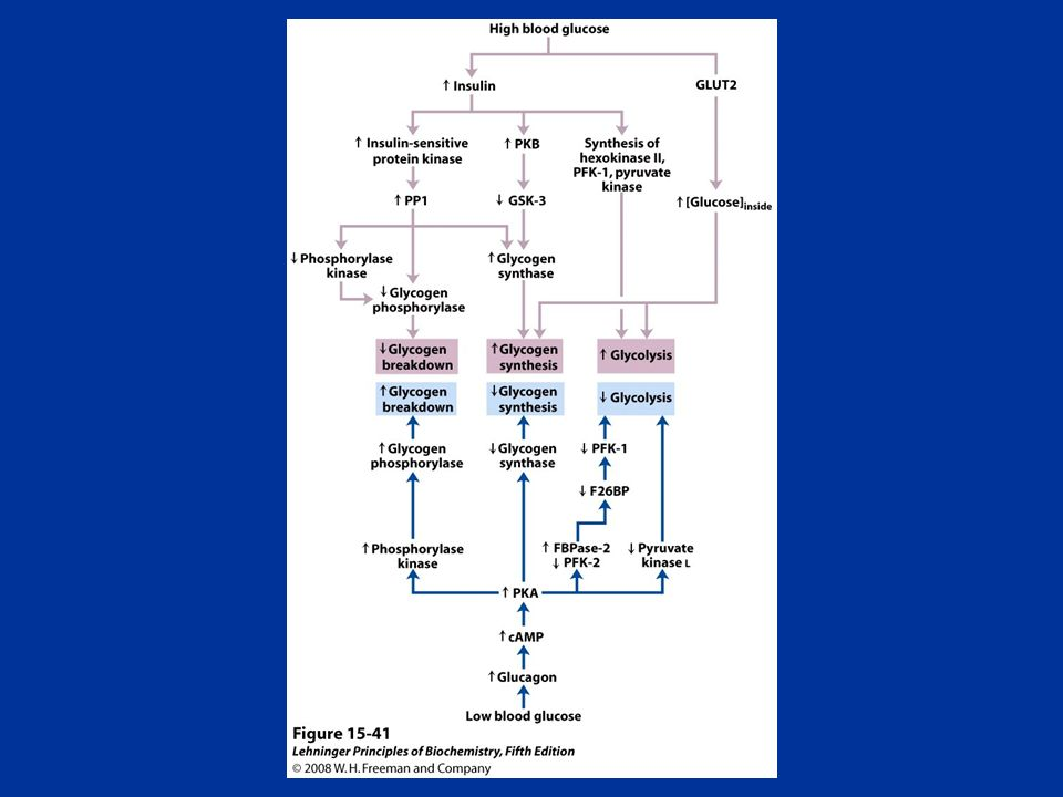 FIGURE Regulation of carbohydrate metabolism in the liver