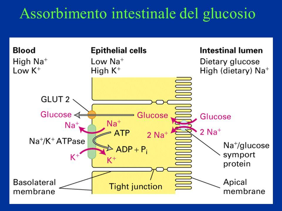Assorbimento intestinale del glucosio