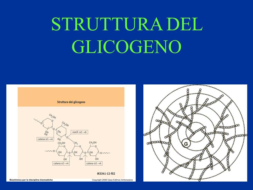 STRUTTURA DEL GLICOGENO