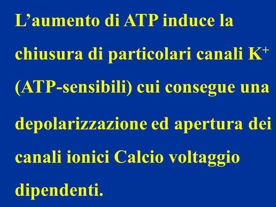 L'aumento di ATP induce la chiusura di particolari canali K+ (ATP-sensibili) cui consegue una