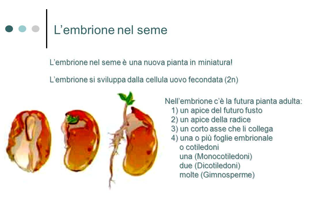 L'embrione nel seme L'embrione nel seme è una nuova pianta in miniatura! L'embrione si sviluppa dalla cellula uovo fecondata (2n)