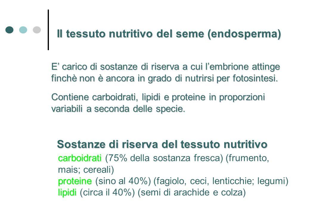 Il tessuto nutritivo del seme (endosperma)