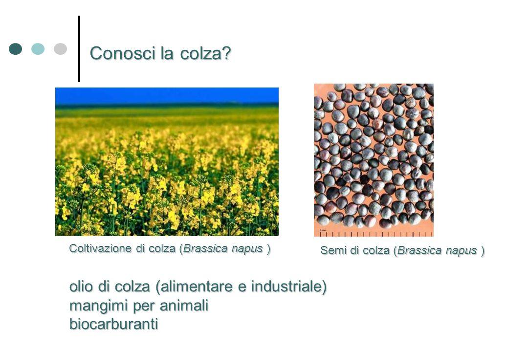 Conosci la colza olio di colza (alimentare e industriale)