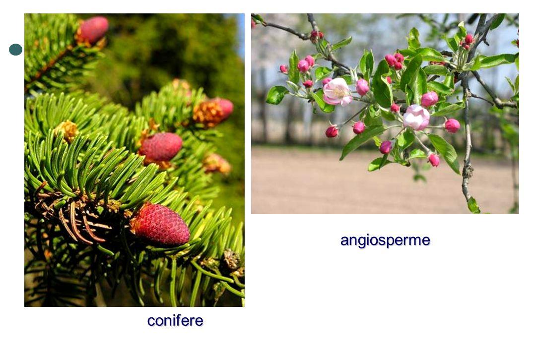 angiosperme conifere