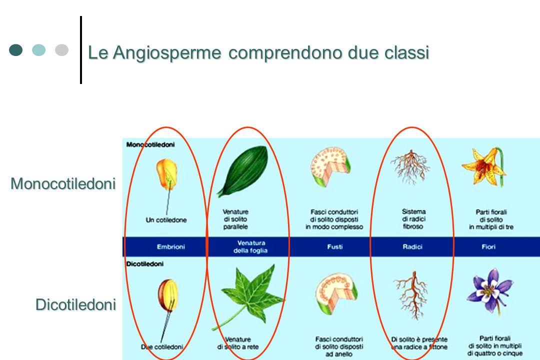 Le Angiosperme comprendono due classi