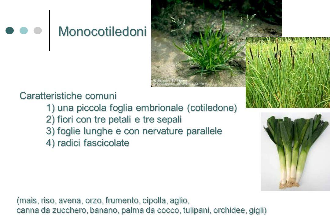 Monocotiledoni Caratteristiche comuni