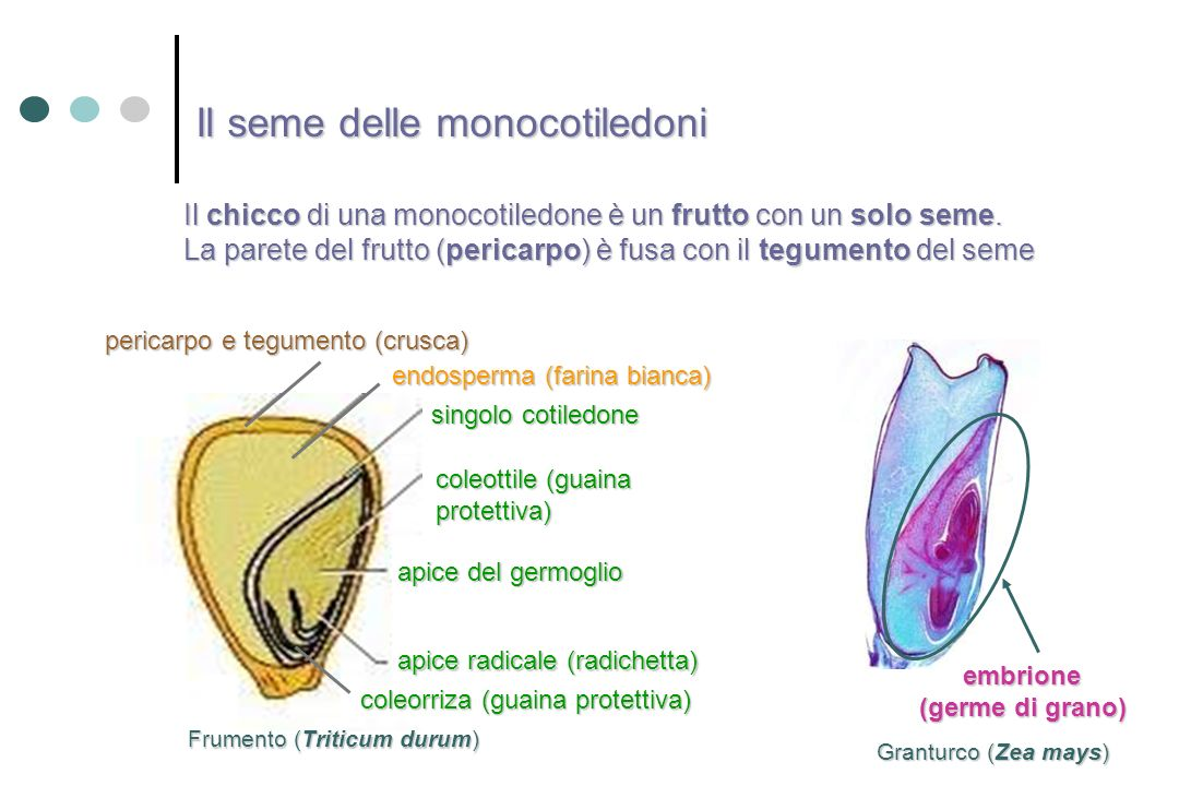 Il seme delle monocotiledoni