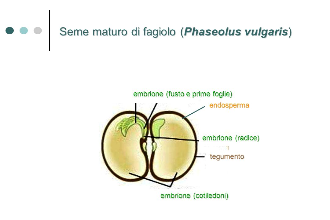 Seme maturo di fagiolo (Phaseolus vulgaris)