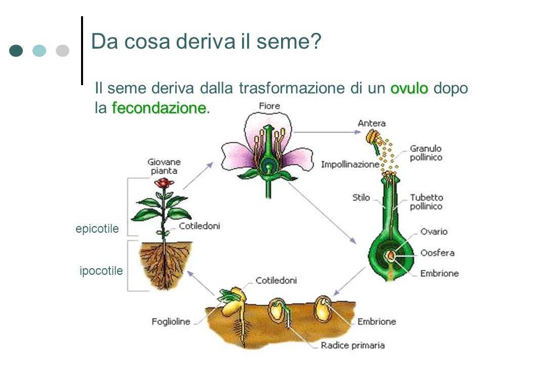 Da cosa deriva il seme Il seme deriva dalla trasformazione di un ovulo dopo la fecondazione. ipocotile.