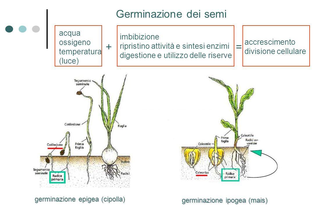 Germinazione dei semi + = acqua ossigeno imbibizione temperatura