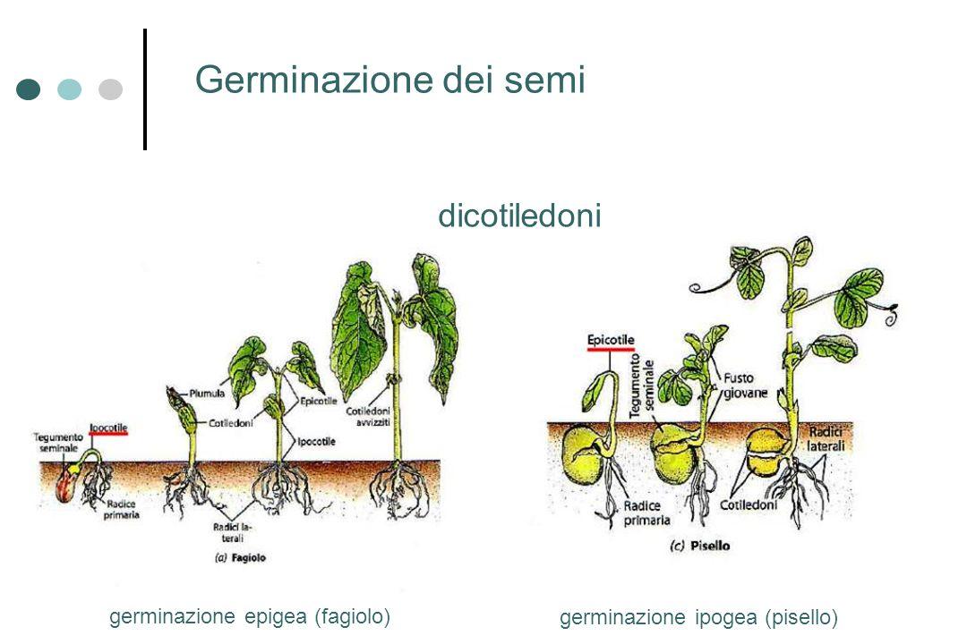 Germinazione dei semi dicotiledoni germinazione epigea (fagiolo)