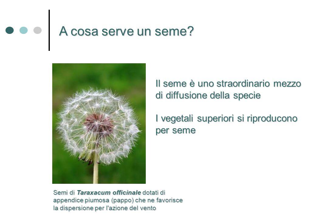 A cosa serve un seme Il seme è uno straordinario mezzo di diffusione della specie. I vegetali superiori si riproducono per seme.