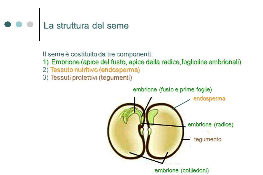 La struttura del seme Il seme è costituito da tre componenti: