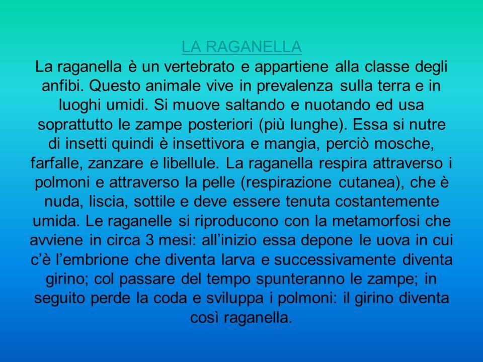 LA RAGANELLA La raganella è un vertebrato e appartiene alla classe degli anfibi.