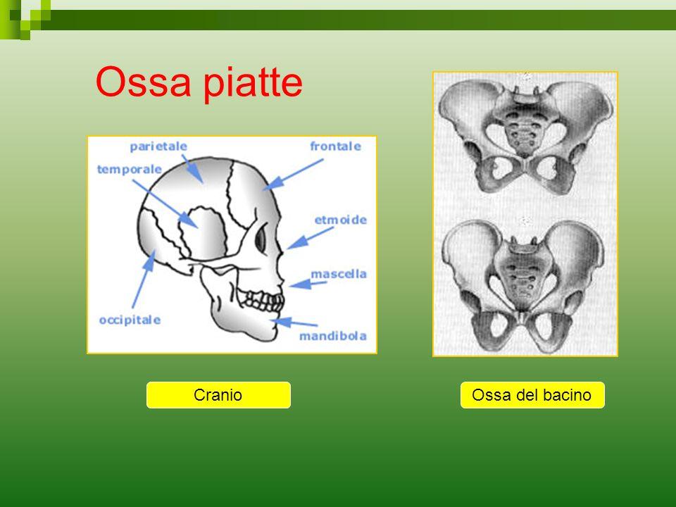 Ossa piatte Cranio Cranio Ossa del bacino