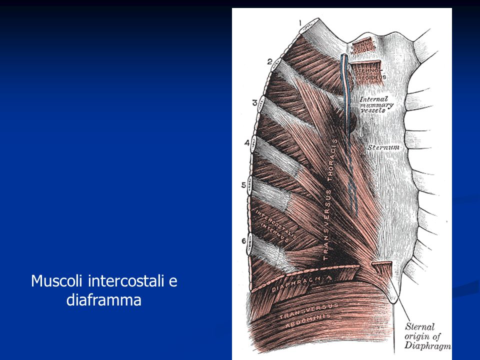 Muscoli intercostali e diaframma